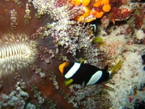 Anemonenfisch - Malediven