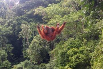 Orang Utans auf Sumatra