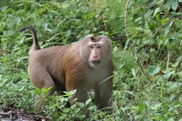 Männlicher Makaken Affe