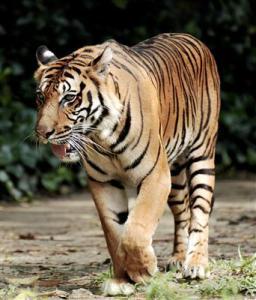 Sumatra Tiger - Indonesien