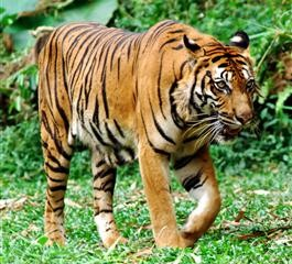 Sumatra Tiger - Indonesien