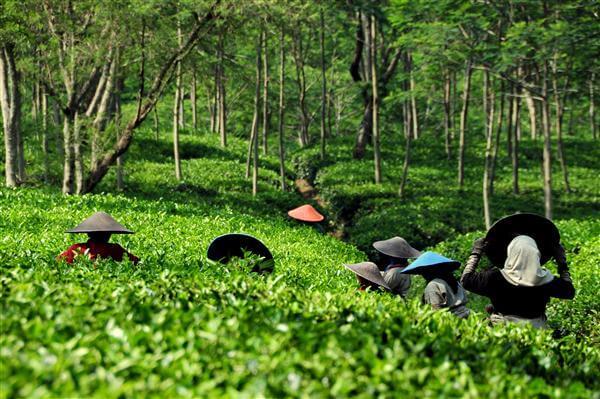 Teeplantage - Indonesien