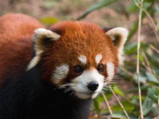 "Kleiner Panda auch ""roter Panda"" genannt - China"