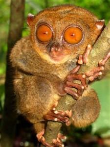 Koboldmaki - Indonesien
