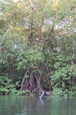 Mangroven in Indonesien