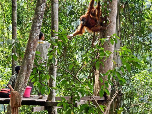 Orang Utan, Gunug Leuser Nationalpark - Indonesien
