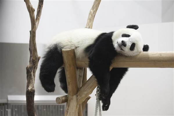Auch ein Panda in der Aufzuchtstation Chengdu darf sich ausruhen ;-)