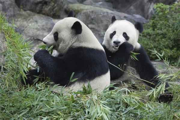 """Lieblingsnahrung der Panda´s """"Bambus"""" - China"""