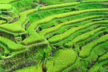 Reisterrassen - Indonesien