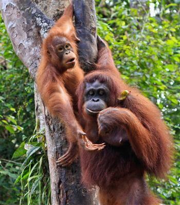 Zwei Orang-Utans, Sumatra - Indonesien