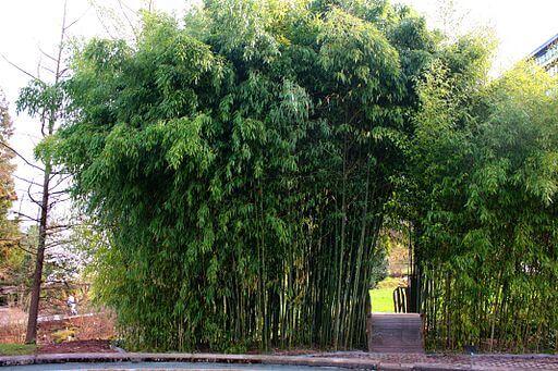 Bambus aus China