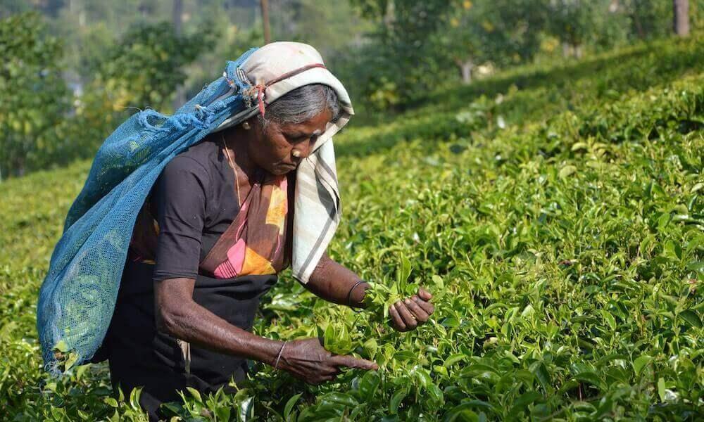 Ceylon Tee Plantage Sri Lanka